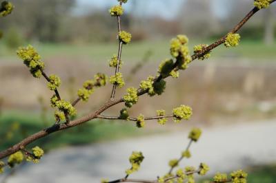 Lindera benzoin (L.) Blume (spicebush), inflorescence