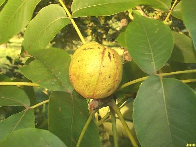 Carya glabra (Mill.) Sweet (pignut hickory), fruit