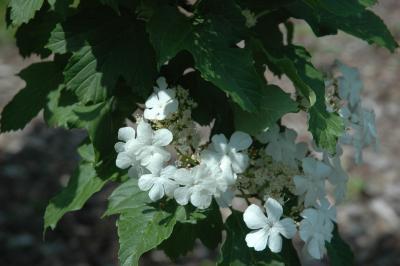 Viburnum sargentii Koehne (Sargent's cranberry-bush), inflorescence