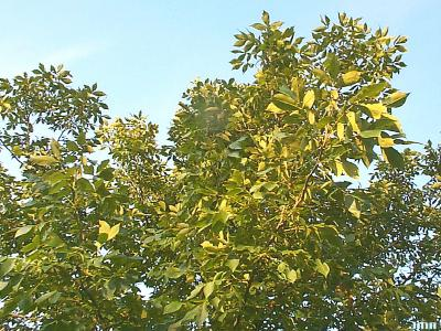Carya glabra (Mill.) Sweet (pignut hickory), branches