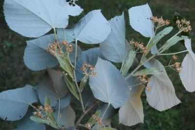 Tilia tomentosa 'Sterling' (STERLING SILVER™ silver linden), leaves, lower surface