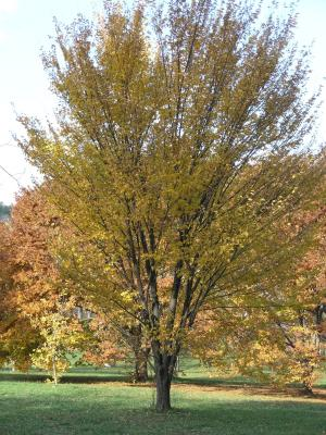 Ulmus americana 'Princeton' (PRINCETON AMERICAN ELM), habit