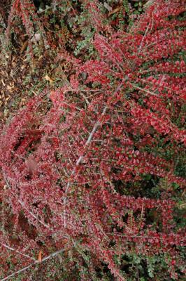 Cotoneaster adpressus Bois (creeping cotoneaster), leaves
