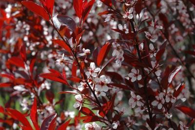 Prunus ×cistena (Hansen) Koehne (purple-leaved sand cherry), inflorescence