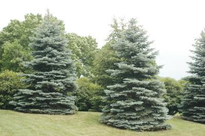 Picea pungens Engelm. (blue spruce), habit