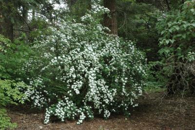Spiraea ×vanhouttei (C. Broit) Zabel (bridal wreath spirea), habit