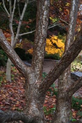 Maackia amurensis Rupr. & Maxim. (Amur maackia), bark, mature