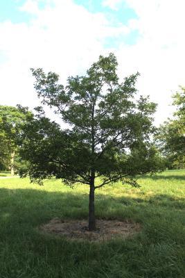 Georgia oak seedline at The Morton Arboreum