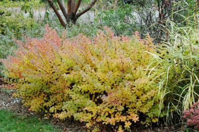 Spiraea betulifolia 'Tor' (Tor birch-leaved spirea), habit