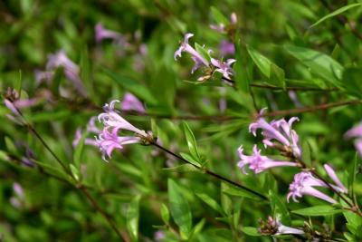 Leptodermis oblonga Bge. (Chinese leptodermis), flowers, side