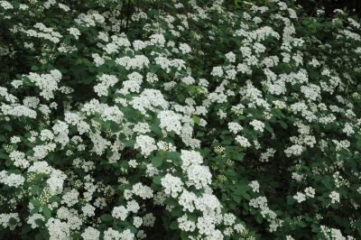 Spiraea ×vanhouttei (C. Broit) Zabel (bridal wreath spirea), inflorescence