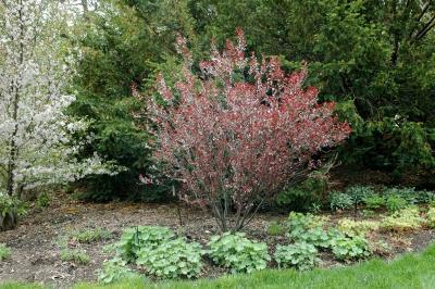Prunus ×cistena (Hansen) Koehne (purple-leaved sand cherry), habit
