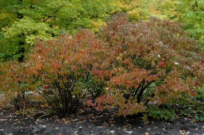 Viburnum dilatatum Thunb. (linden viburnum), habit