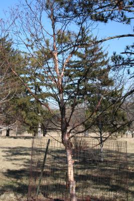 Betula utilis D.Don (Himalayan birch), habit