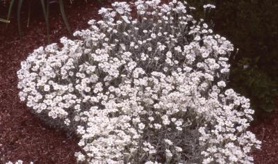 Cerastium tomentosum L. (snow-in-summer), habit