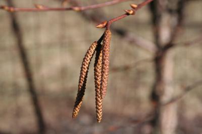 Betula utilis D.Don (Himalayan birch), flowers