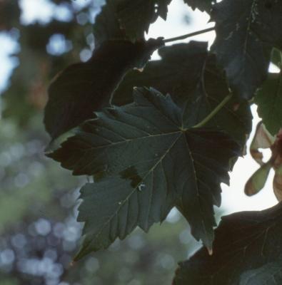 Acer pseudoplatanus L. (sycamore maple), leaves