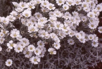 Cerastium tomentosum L. (snow-in-summer), flowers