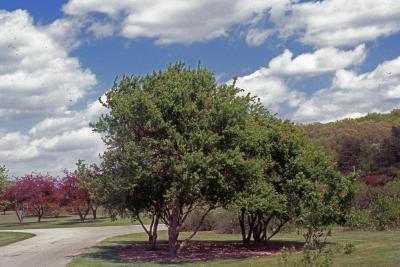Acer buergerianum Miq. (trident maple), habit