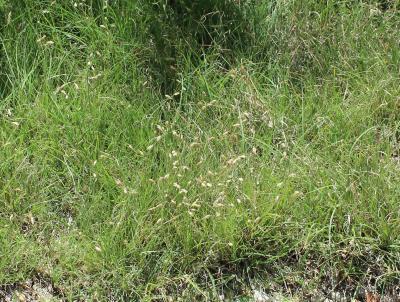 Buchloe dactyloides (buffalo grass), close-up of habit