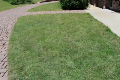 Buchloe dactyloides (buffalo grass), habit