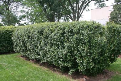 Cotoneaster lucida Schlecht. (hedge cotoneaster), habit