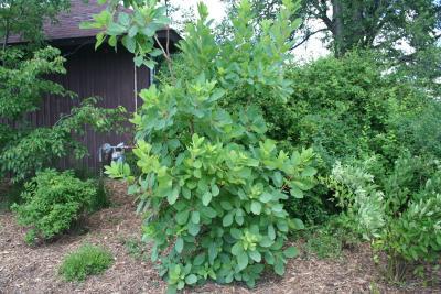 Cotinus obovatus Raf. (American smoke tree), habit