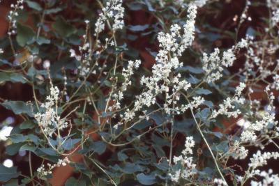 Fallopia aubertii (Regel) Holub (silver lace vine), flowers