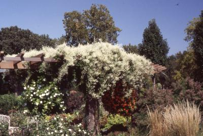 Fallopia aubertii (Regel) Holub (silver lace vine), habit