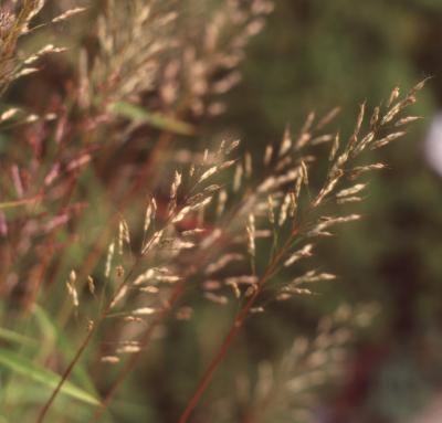 Spodiopogon sibiricus Trin. (Siberian frost grass), fruit