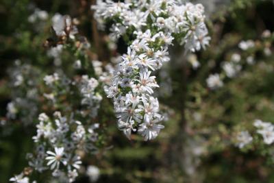 Symphyotrichum ericoides (L.) G.L.Nesom (heath aster), flowers