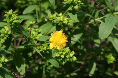 Hypericum prolificum L. (shrubby St. John's wort), flowers