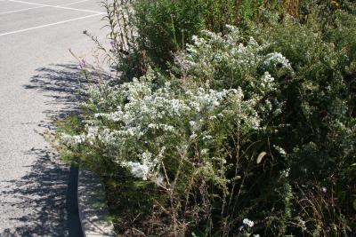 Symphyotrichum ericoides (L.) G.L.Nesom (heath aster), habit