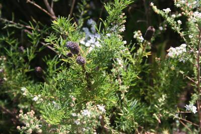Symphyotrichum ericoides (L.) G.L.Nesom (heath aster), leaves