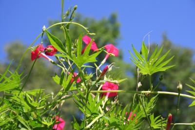 Ipomoea x multifida (cardinal climber), flowers