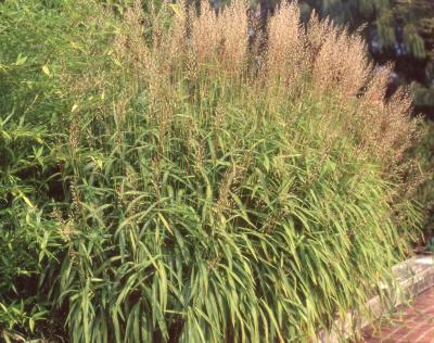 Spodiopogon sibiricus Trin. (Siberian frost grass), habit