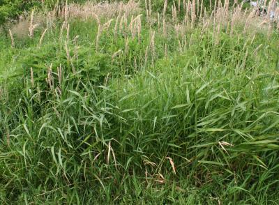 Phalaris arundinacea (red canary grass), habit