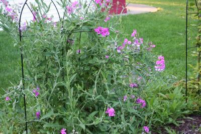Lathyrus latifolius (perennial sweetpea), habit
