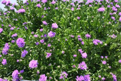Symphyotrichum novi-belgii (L.) G.L.Nesom 'Henry II' (New York aster), flowers