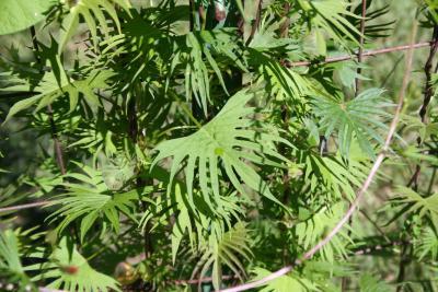 Ipomoea x multifida (cardinal climber), leaves