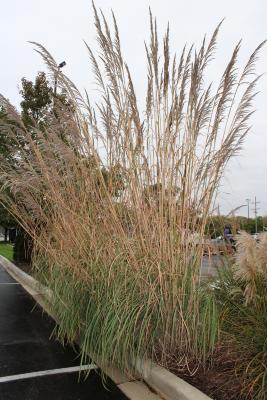 Saccharum ravennae (L.) L. (ravenna grass), habit
