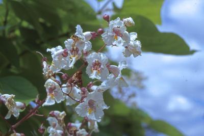 Catalpa bignonioides Walt. (southern catalpa), flowers