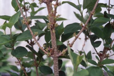 Forsythia x intermedia Zabel (border forsythia), stem