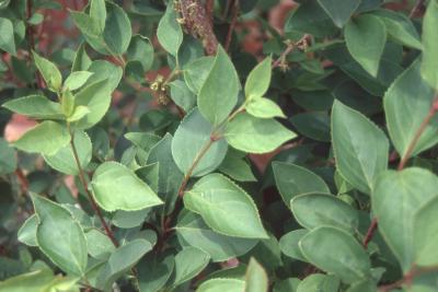 Forsythia x intermedia Zabel (border forsythia), leaves