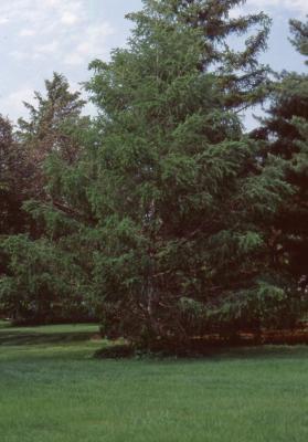 Larix kaempferi (Lambert) Carriere (Japanese larch), habit