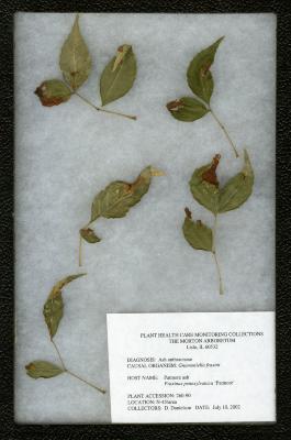 Ash anthracnose (Gloeosporium aridum) on Fraxinus pennsylvanica 'Patmore' (Patmore green ash)