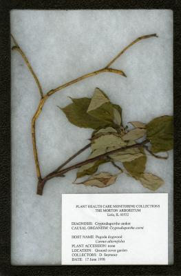 Cryptodiaporthe canker (Cryptodiaporthe corin) on Cornus alternifolia L. f. (pagoda dogwood)