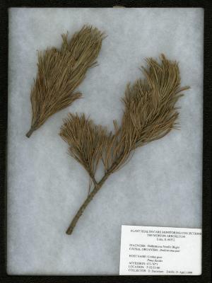 Dothistroma needle blight (Dothistroma pini) on Pinus flexilis James (limber pine)
