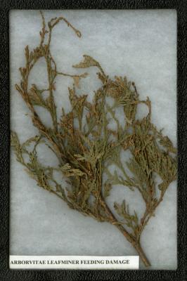 Arborvitae Leafminer Feeding Damage