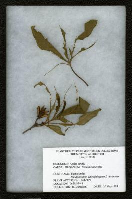Azalea sawfly (Mematus lipovskyi) on Rhododendron calendulaceum f. aurantium (Flame azalea)